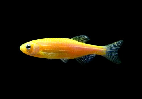 Данио оранжевый (Sunburst Orange Danio GloFish)