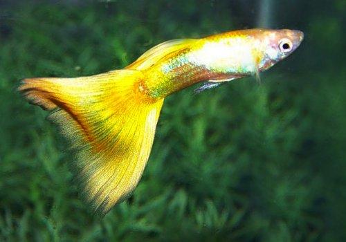 Гуппи желтый (Guppy German Yellow)