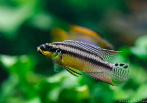 Пельвикахромис изменчивый (Pelvicachromis taeniatus Muyuka)