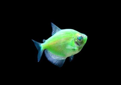 Тетра электрик грин (Electric Green Tetra GloFish)