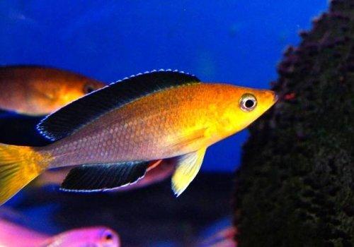 Циприхромис лептозома (Cyprichromis leptosoma yellow head)