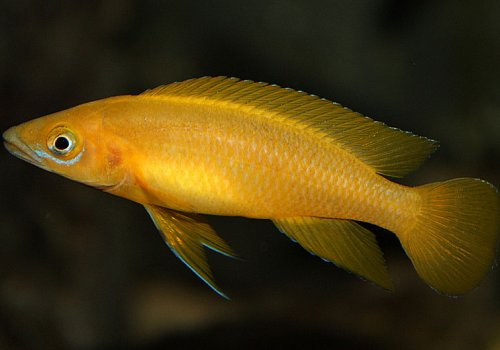Лампрологус апельсиновый лелеупи (Neolamprologus leleupi orange)