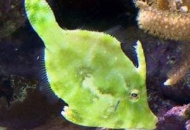 822_1149_matted_filefish_bg